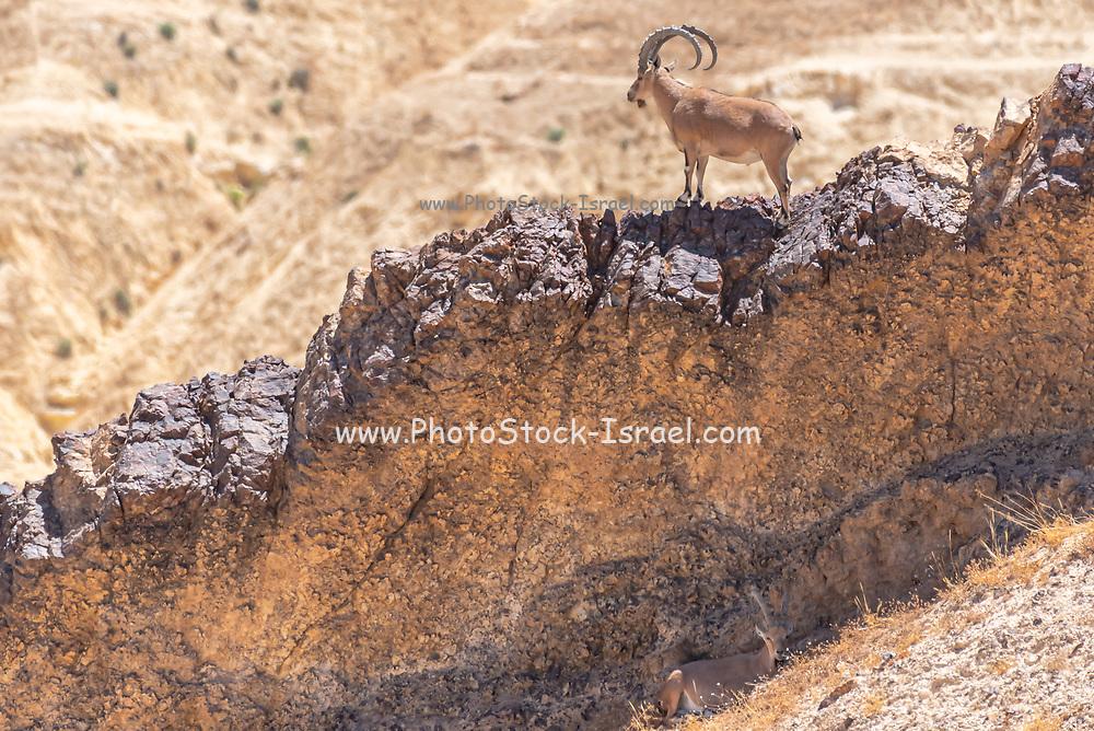 A herd of Ibex (Capra ibex nubiana) wondering in the town. Photographed in Mitzpe Ramon, Negev, Israel