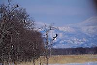 Steller's sea eagles (Haliaeetus pelagicus) landing in a snag.