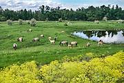 Nederland,Ooiojpolder, 13-5-2020 Een groep wilde konikpaarden, koniks, staan bij een poel,waterpoel, in de uiterwaarden van de rivier de Waal, Rijn . De aanhoudende droogte zorgt opnieuw voor een probleem met het water. Konik,wilde, paarden, dieren, kudde, groep, grazer, grote, konikpaard,konikpaarden, strijd, leiderschap . Foto: Flip Franssen