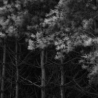 Im having a bit of a scots pine period, really like how the infrared works with the foliage, this is from Dunwich Forest which is currently being rewilded to a broad leaf forest. It's much better for the wildlife, but there is something eerily appealing about the dark sterile canopy of a confier wood.