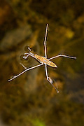 A water strider (Gerris Sp) patrols the water's surface. The insect is designed to stride across the water using surface tension to keep it from sinking in. Photographed in the coast range of Oregon.