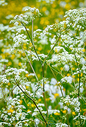 Cow parsley - Anthriscus sylvestris, Queen Anne's lace in the meadow at Great Dixter