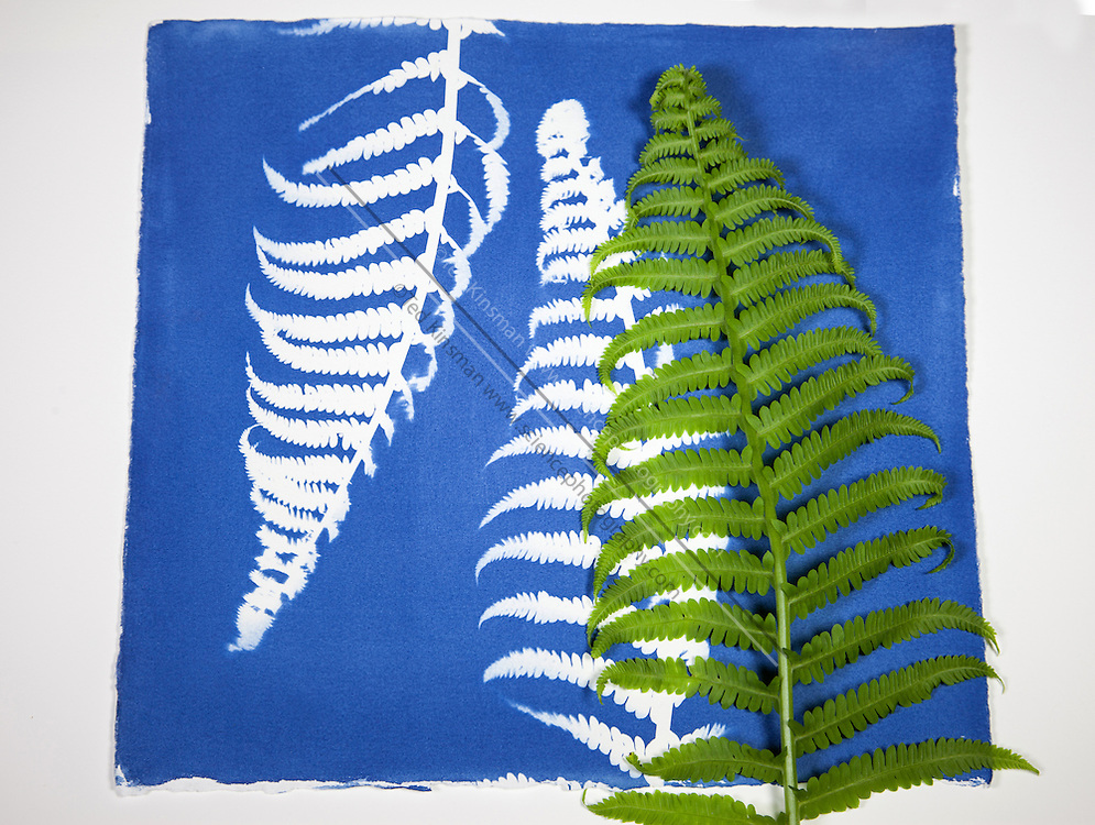 A cyanotype print with the fern that cast the shadow seen in the print.  In this process an object is placed on the ultraviolet sensitive chemically treated paper and exposed to a strong UV light source – in this case sunlight.  The object is then removed and the print washed in cool water to remove the unreacted chemicals. Cyanotype is a photographic printing process that produces a cyan-blue print. Engineers used the process well into the 20th century as a simple and low-cost process to produce copies of drawings, referred to as blueprints. The process uses two chemicals: ammonium iron(III) citrate and potassium ferricyanide.  The English scientist and astronomer Sir John Herschel discovered the procedure in 1842.