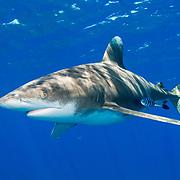 Oceanic whitetip shark (Carcharhinus longimanus) accompanied by pilotfish (Naucrates ductor) off Cat Island, Bahamas.