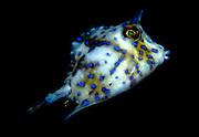UNDERWATER MARINE LIFE CARIBBEAN, Florida Keys Fish; Scrawled cowfish juvenile Acanthostracion quadricornia