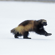Wolverine (Gulo gulo) adult running across a snowy clearing during winter in the Rocky Mountains of Montana. Captive Animal