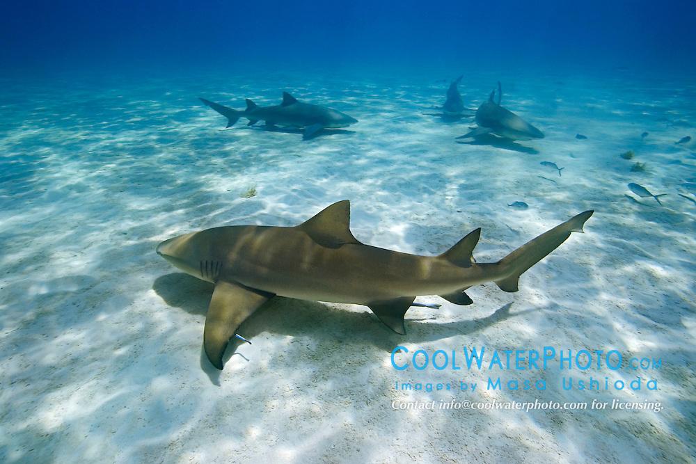 Lemon Sharks, Negaprion brevirostris, West End, Grand Bahama, Atlantic Ocean