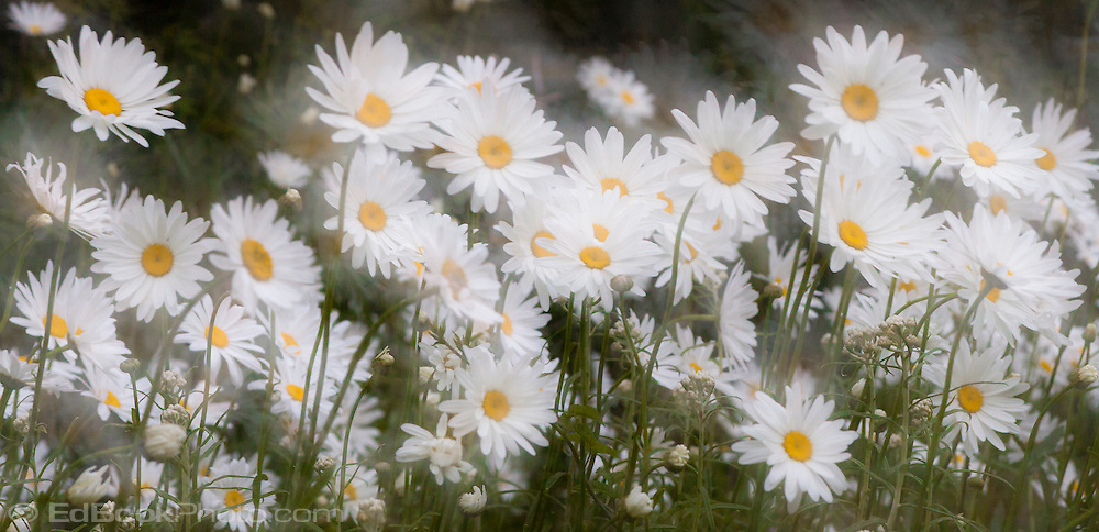 a motion blur and hesitation during motion in one exposure daisies abstract and glowing