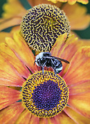 A male bumblebee settles in for a night's sleep at dusk on the petals of a Helenium plant. (Steve Ringman / The Seattle Times)