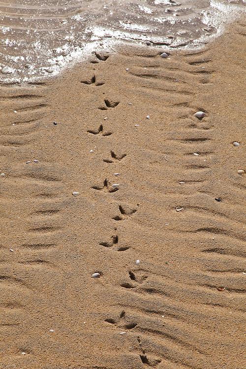 Huellas de gaviota cana en bancos de arena de Luskentyre. Common gull tracks on Luskentyre Banks. South Harris Island. Outer Hebrides. Scotland, UK