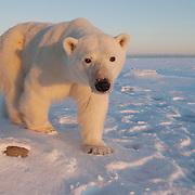Polar Bear (Ursus maritimus) at Hudson Bay, Churchill, Manitoba, Canada.