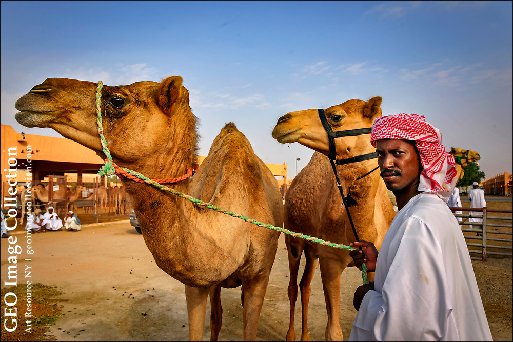 Arab in traditional Keffiyeh headscarf holds two camels at the Al Ain camel market in the desert oasis city of Al Ain, part of Abu Dhabi, in the United Arab Emirates.  The market is the last camel market un the United Arab Emirates and attracts breeders and buyers from all over Arabia.