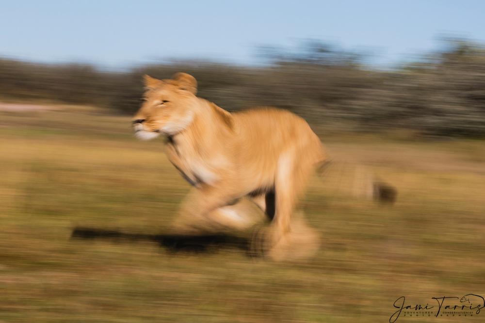 Motion blur of a lioness running in the morning (Panthera leo), Kalahari Desert, Botswana Africa