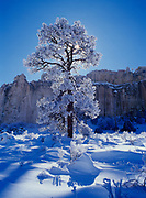Rime ice and frost coated Ponderosa Pine, Pinus ponderosa, silhouetted by sun, Inscription Rock, El Morro National Monument, New Mexico.