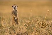 Meerkat or Suricate (Suricata suricatta)<br /> Makgadikgadi Pans, Kalahari Desert<br /> Northeast BOTSWANA<br /> HABITAT & RANGE: Kalahari Desert in Botswana, Namib Desert of Namibia, Angola and South Africa