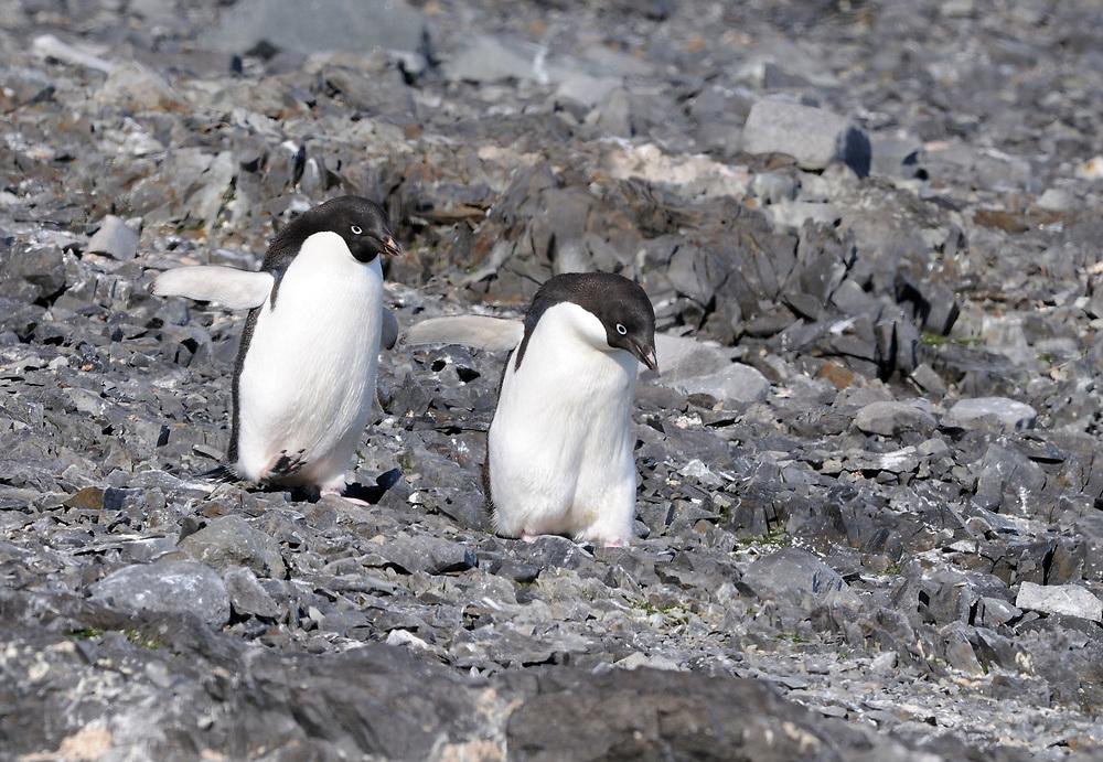Two Adélie penguins (Pygoscelis adeliae) carefully pick their way down a stony slope. Hope Bay, Antarctica. 02Mar16