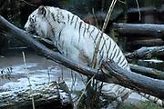 Dierenpark Amersfoort in de winter.<br /> <br /> Op de foto:<br />  Witte tijger<br /> <br /> In de Stad der Oudheid wonen twee wel heel bijzondere dieren: Brooklyn en Maxi; de witte tijgers. Witte tijgers hebben weinig kans in de natuur, omdat wit geen schutkleur is. Ze zouden door hun lichte uiterlijk in het regenwoud zo opvallen dat een prooi hen al van verre zou zien aankomen. De witte tijgers in DierenPark Amersfoort waren de eerste in de BeNeLux.
