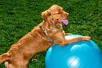 An Australian Shepherd/Golden Retriever mix Puppy balanced on an exercise ball, Littleton, Colorado USA.