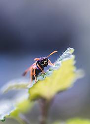 THEMENBILD - eine Wespe sitzt auf einem Blatt, aufgenommen am 05. September 2019, Kaprun, Österreich // a wasp sits on a leaf on 2019/09/05, Kaprun, Austria. EXPA Pictures © 2019, PhotoCredit: EXPA/ Stefanie Oberhauser