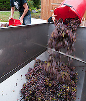 The white wine grape pinot gris is harvested at Symphony Vineyards, a family-owned winery on the Saanich Penninsula on Vancouver Island, BC. Immediately after harvest the grapes are bucketed into a commercial destemmer, crushed and piped into a holding tank.