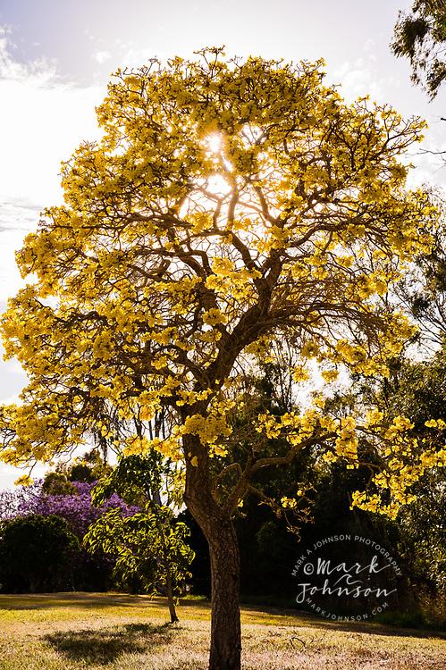 Silver Trumpet Tree (Tabebuia aurea), Yeronga, Brisbane, Queensland, Australia