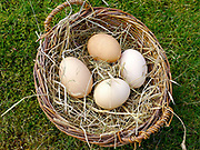 A basket of Deborah Devonshire's hens eggs in a basket in the garden at her home on Chatsworth Estate.