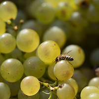 Bees buzz around bunches of grapes in a container seen during the harvest at the Hilltop Wine House near Neszmely, Hungary on Sept. 13, 2018. ATTILA VOLGYI