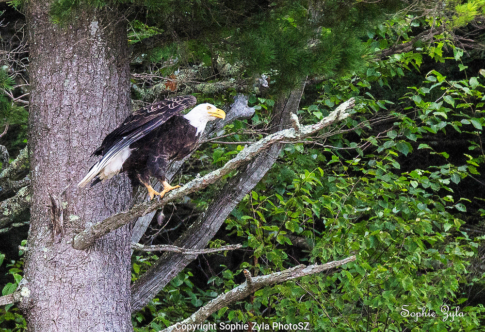 Bald eagle ready for lift-off