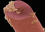 Scanning electron micrograph (SEM) of a man's beard hair after being shaved with an ordinary razor blade, showing the cleanly cut end that results. The flesh colored areas are skin cells that were scraped off by the razor. Magnification: 400x when printed at 10 cm wide.