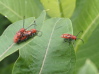 One Red Milkweed Beetle discretely turns his back, as the other two have a private moment; Central Park, July 4, 2021.
