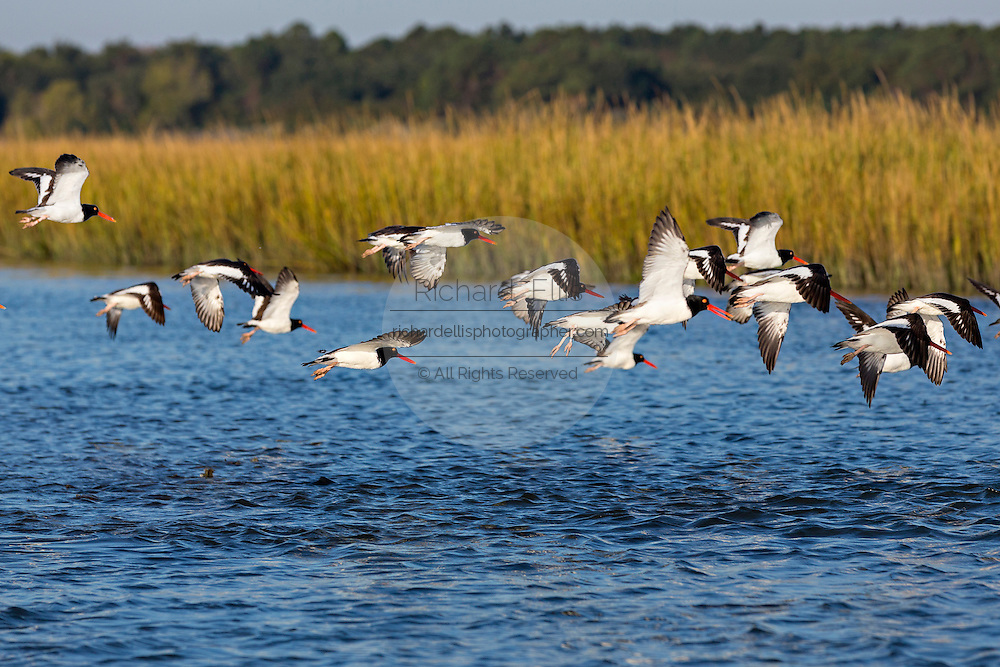 American oystercatchers take flight from an oyster bed in the Cape Romain National Wildlife Refuge South Carolina.