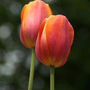 Two peach-colored tulips. Photo by Adel B. Korkor.