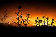 A setting sun illuminates thistle atop Boreas Pass, Colorado.