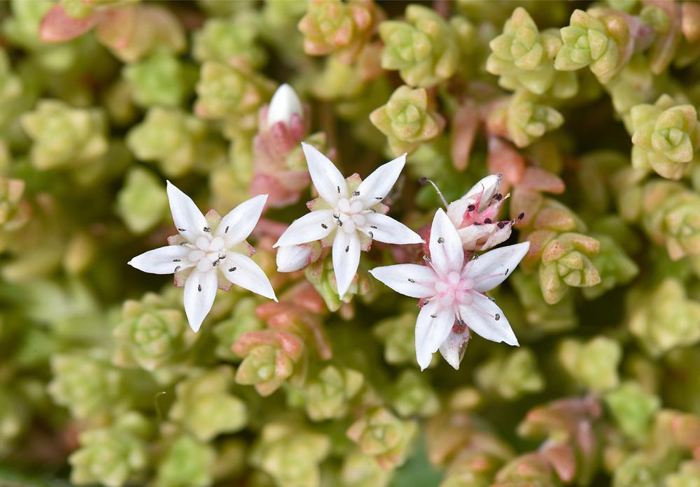 English Stonecrop - sedum anglicum
