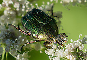 """The metallic green """"rose chafer"""" (or goldsmith beetle, Cetonia aurata) reaches 20 mm long and has a distinct V-shaped scutellum (the small area between wing cases). Reflection of circularly polarised light makes the beetle appear metallic green in color. Plitvice Lakes National Park (Nacionalni park Plitvicka jezera, in Croatia, Europe) was founded in 1949 and is honored by UNESCO as World Heritage Site."""