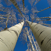 Aspen (Populus tremuloides) forest in the winter near Aspen, Colorado.