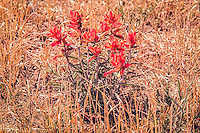 Ranging from California to Texas along the US-Mexico border, and occurring south well into Mexico, the wooly Indian paintbrush is a native desert species of the Castilleja genus. This one was photographed on the road leading to the Chiricahua National Monument near Willcox in Southeastern Arizona.