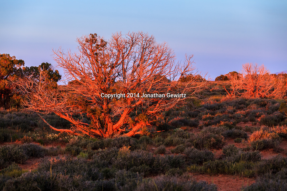 Red light from the setting sun plays over desert brush on the high plateau northwest of Moab, Utah.<br /> WATERMARKS WILL NOT APPEAR ON PRINTS OR LICENSED IMAGES.