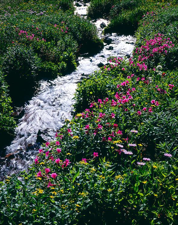 Pink monkeyflowers,scenicios and daisies, alpine zone, Two Medicine Pass, Glacier National Park, Montana, USA