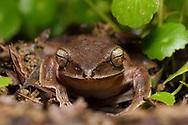 Tree frog, Polypedates braueri, wildlife; Shedi Forest Park, Kenting National Park, Taiwan