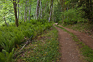 Sword ferns, red alder, and big leaf maple grow abundantly along a forest road in a lush temperate forest, Kitsap Peninsula, Puget Sound, WA, USA
