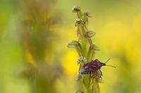 Apulia; Gargano Peninsula; Italy; Man Orchid; Orchis anthropophora