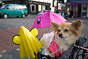 Cindy the cute Chihuahua, sitting in her owners bicycle basket wearing her hoodie as they cycle down Bethnal Green Road in the East End of London, UK.