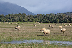Sheep at Blackwood Creek in the shadow of the Great Western Tiers.