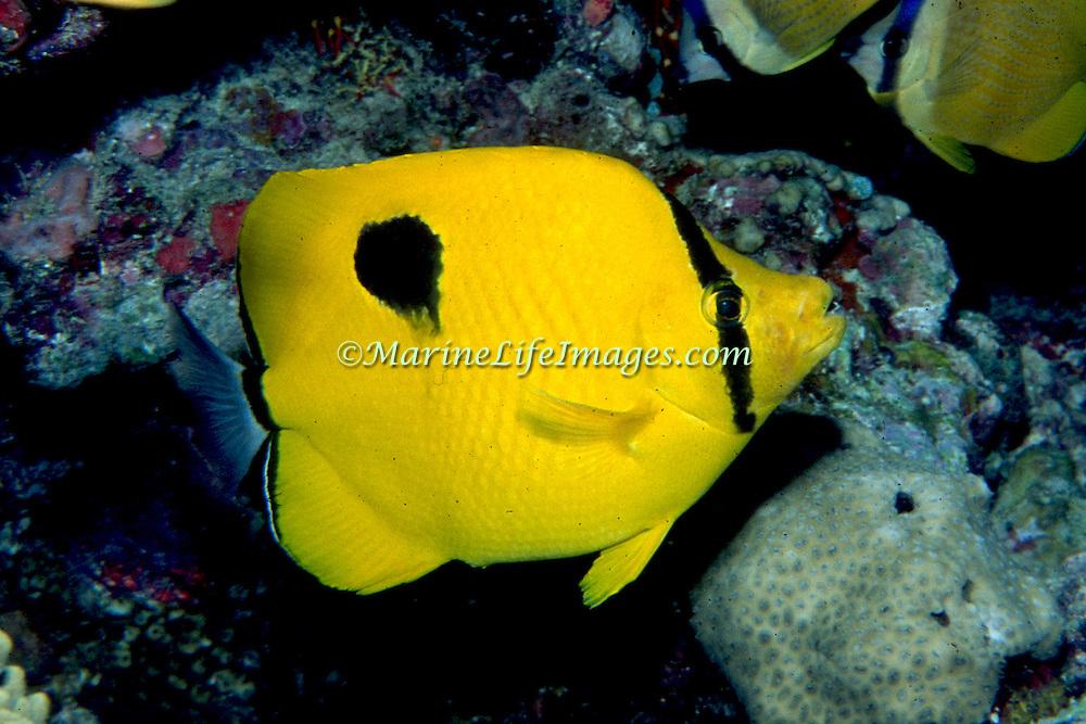 Indian Teardrop Butterflyfish inhabit reefs. Picture taken Maldives.