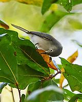 Blue-gray Gnatcatcher (Polioptila caerulea). Sawgrass Lake Park. Pinellas County, Florida. Image taken with a Nikon D700 camera and 300 mm f/2.8 VR lens and 2.0x TC-E teleconverter.