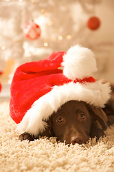 Close up of a dog lying in front of a Christmas tree wearing a red and white hat