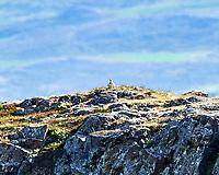 Rock Ptarmigan (Lagopus muta). Akureyri, Iceland. Image taken with a Nikon Df camera and 300 mm f/2.8 VR lens.