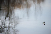 The male bufflehead was feeding actively just off shore.  It would dive for 15 or 20 seconds before surfacing for a few seconds.  The male gradually moved along the edge of the tree reflections and the pattern was intriquing.