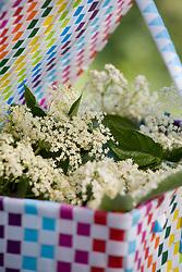 Freshly harvested elderflowers in a colourful basket. Sambucus nigra